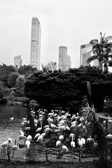 Kowloon Park, Hong Kong - flamingos