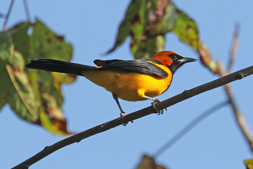 Orange-crowned Oriole - Icterus auricapillus | by Roger Wasley