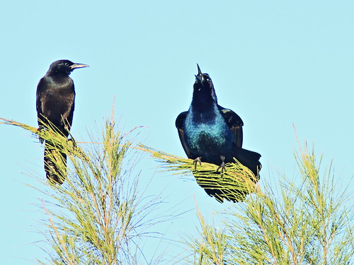 Boat-tailed Grackles 01-20180111