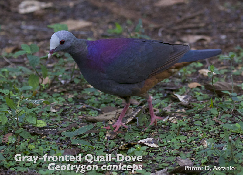 Gray-fronted Quail-Dove, Geotrygon caniceps_199A3760