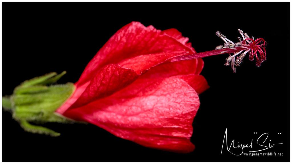 Lazy Hibiscus Flower Flor De Hibiscus Malvaviscus Arbo Flickr
