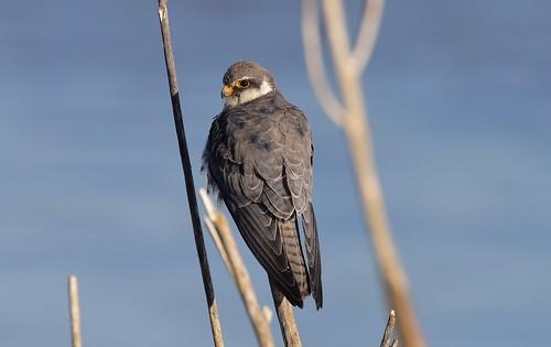 amurfalcon falcoamurensis thagaledam botswana