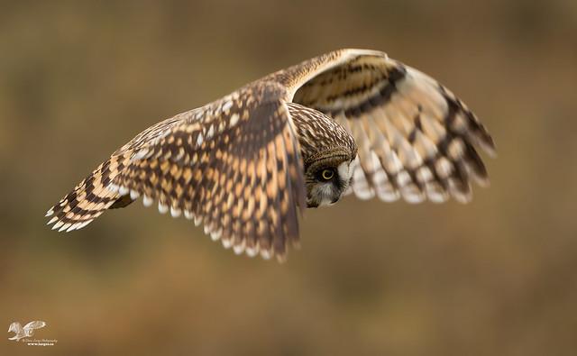 Selective Focus (Short-Eared Owl)
