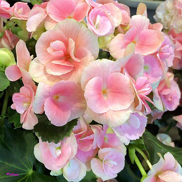 言葉 ベゴニア 花 ベゴニアの花言葉と由来