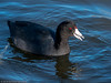 American Coot by Ramona H