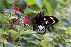 Ornithoptera tithonus misresiana (Tithonus Birdwing) - female