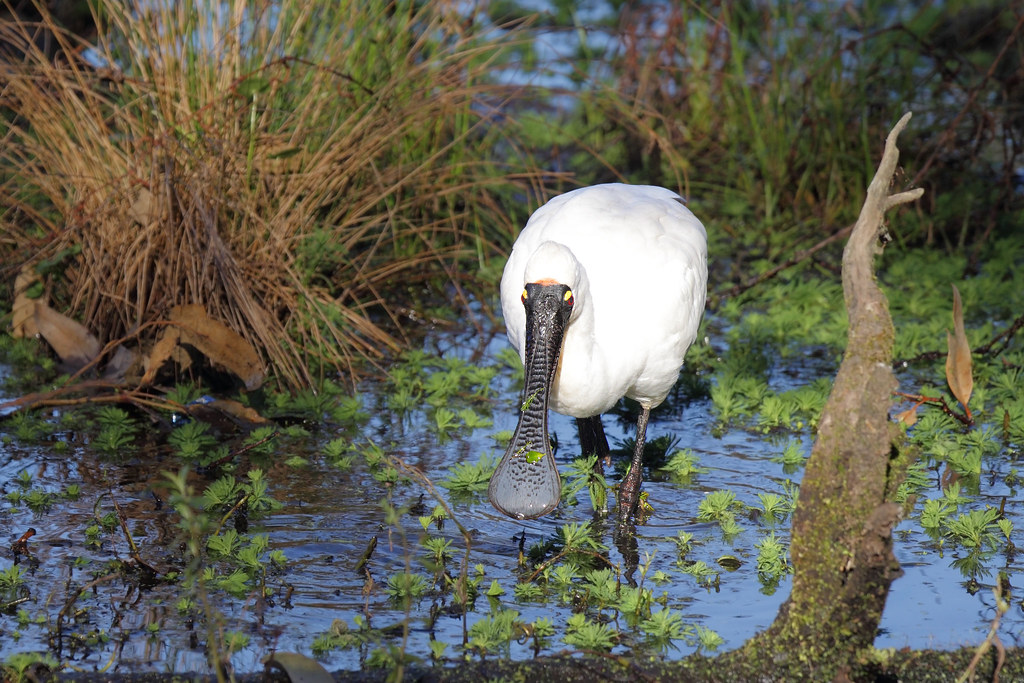 Spoonbill Royal 6 Warriewood NSW 1407