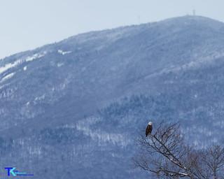 Bald Eagle Burke | by Tim_NEK
