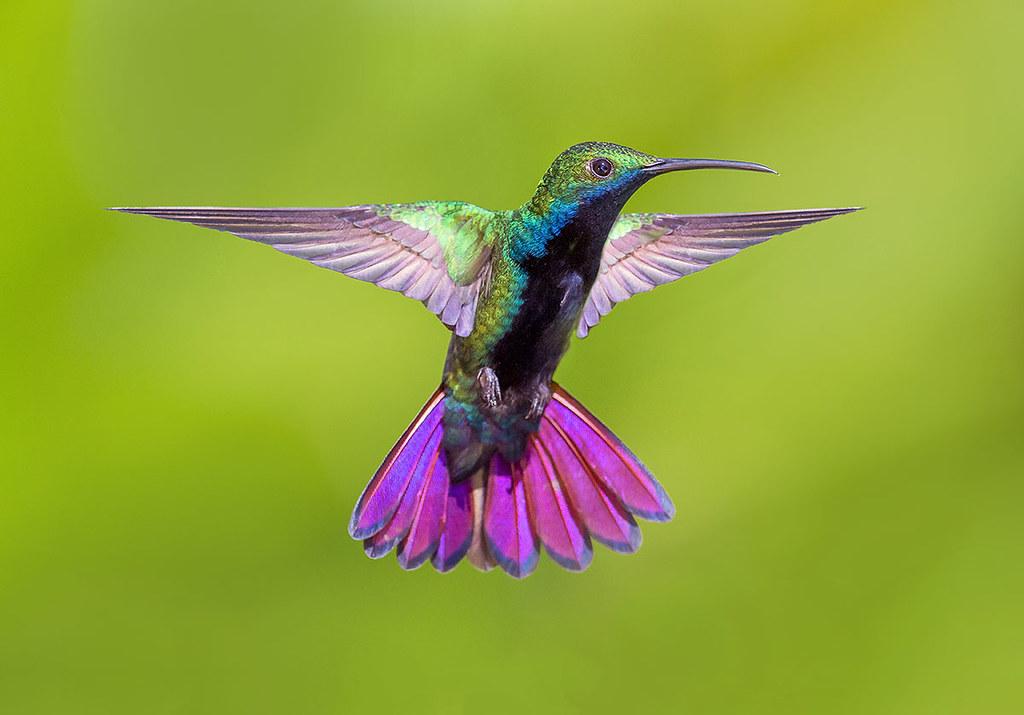 bd90059896 by pedro lastra Black Throated Mango Hummingbird, Trinidad. | by pedro  lastra