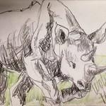 Nashorn Skizze