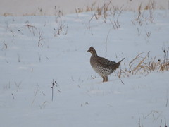 Sharp-tailed Grouse, Sax-Zim Bog, MN 1/7/2018