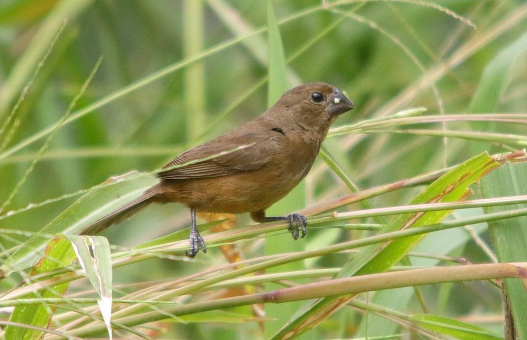 Semillero Menor | Chestnut-bellied Seed-Finch (Oryzoborus angolensis)