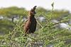 Long-crested eagle by takashi muramatsu