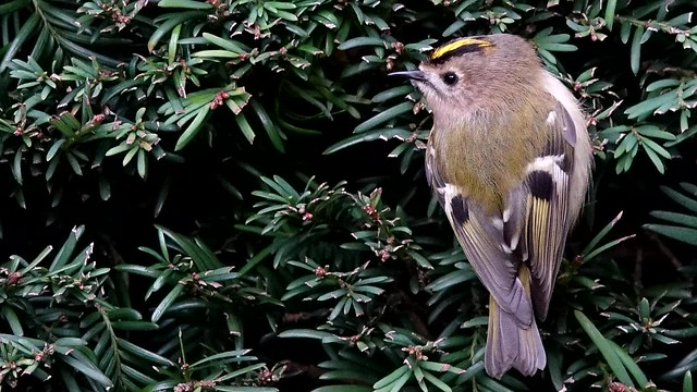 Goldcrest on the move