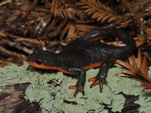 Red-Bellied Newt (Taricha rivularis) | by NicholasHess