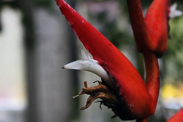 Heliconia pendula Wawra - BG Meise