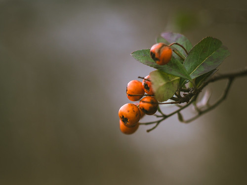 Winter berries | by A_Peach