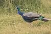 Indian Peafowl, Pavo cristatus by Kevin B Agar