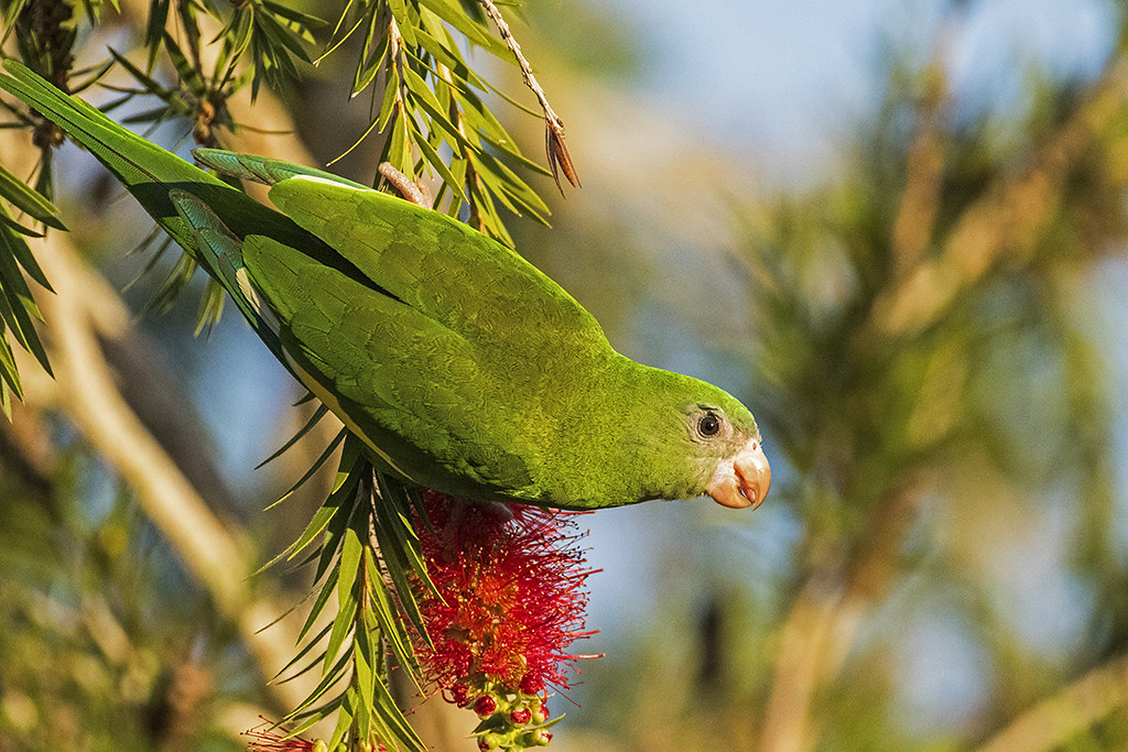 Periquito Aliblanco-White-winged Parakeet, Brotogeris versicolurus-