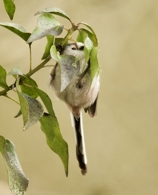 Hang in there. Long Tailed Tit.