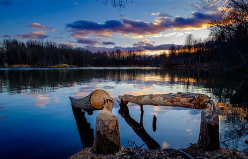 gnawed trees woods landscape tree eastbrunswick nature nj beaver sky sunset beaverpond teeth water forest monroetownship newjersey unitedstates us