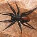 Araña de Mancha Roja Imitadora de Hormigas - Photo (c) David Hill, algunos derechos reservados (CC BY)