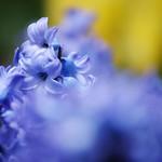 紫色のヒヤシンス