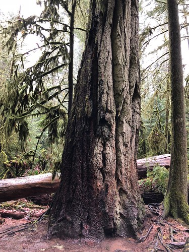 Tofino - Cathedral Grove - great big tree | by Pierre Yeremian