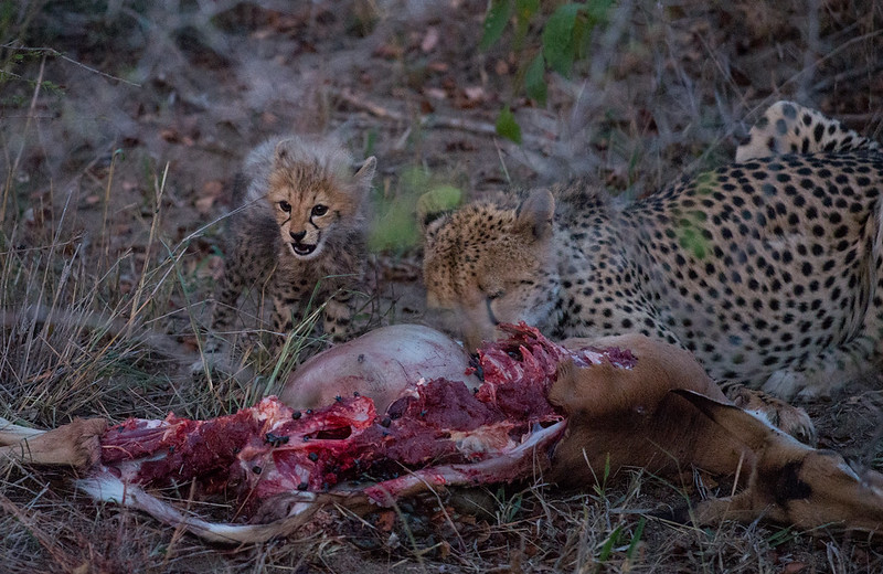 Cheetah having dinner