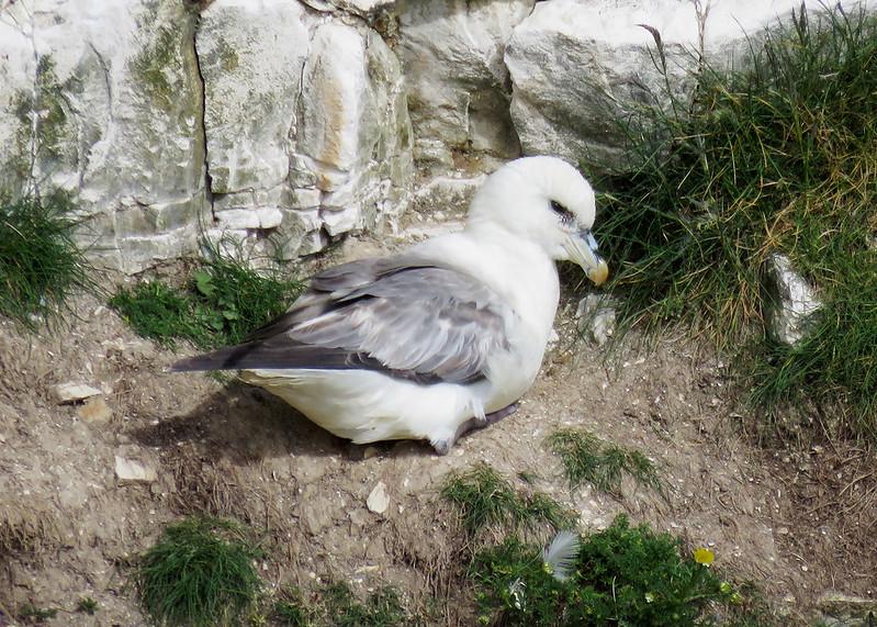 Fulmar - Fulmarus glacialis