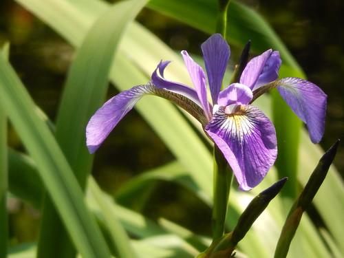 Kejimkujik NP Seaside - bloem