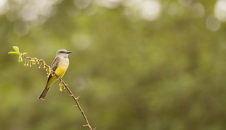 Tyrannus melancholicus // Tropical Kingbird | by Giselle Mangini