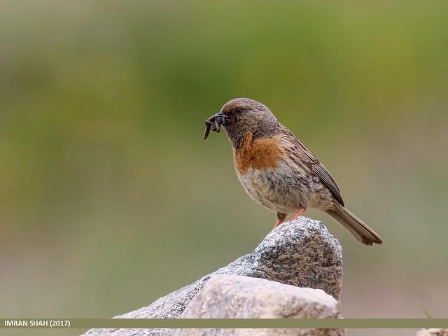 Robin Accentor (Prunella rubeculoides)