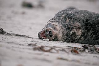 Yawning seal   by knipslog.de