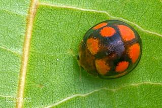Ladybird beetle (Coccinellidae) - DSC_2195