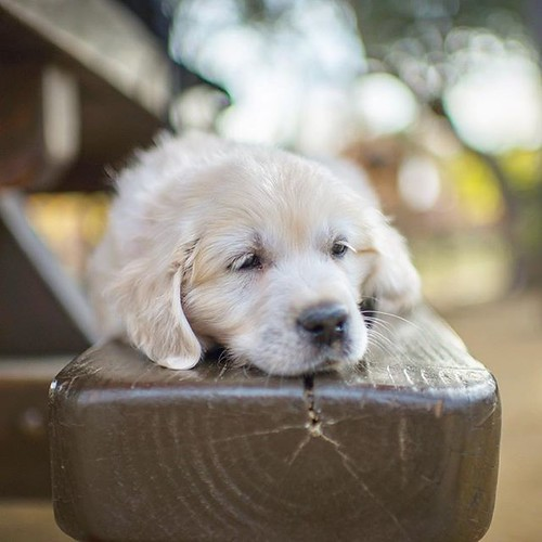 Beware of stray English Cream Golden Retrievers loitering on park benches in Westlake Village. They don't have all their shots yet & will eat all your children 👶 🐾🐾❤️🐾🐾 | by Alex Beattie