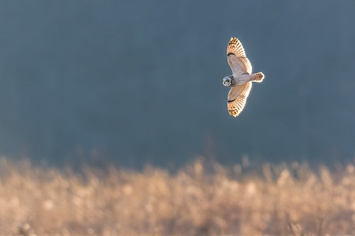 asioflammeus flight seo nature bif shortearedowl wildlife farm polefarm bird owl mercermeadows pennington newjersey unitedstates us nikon d500 backlit