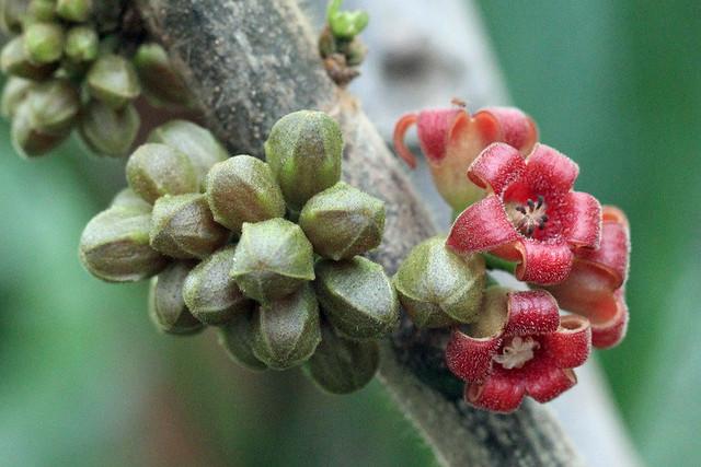 Cola caricifolia (G. Don) K. Schum. - BG Meise
