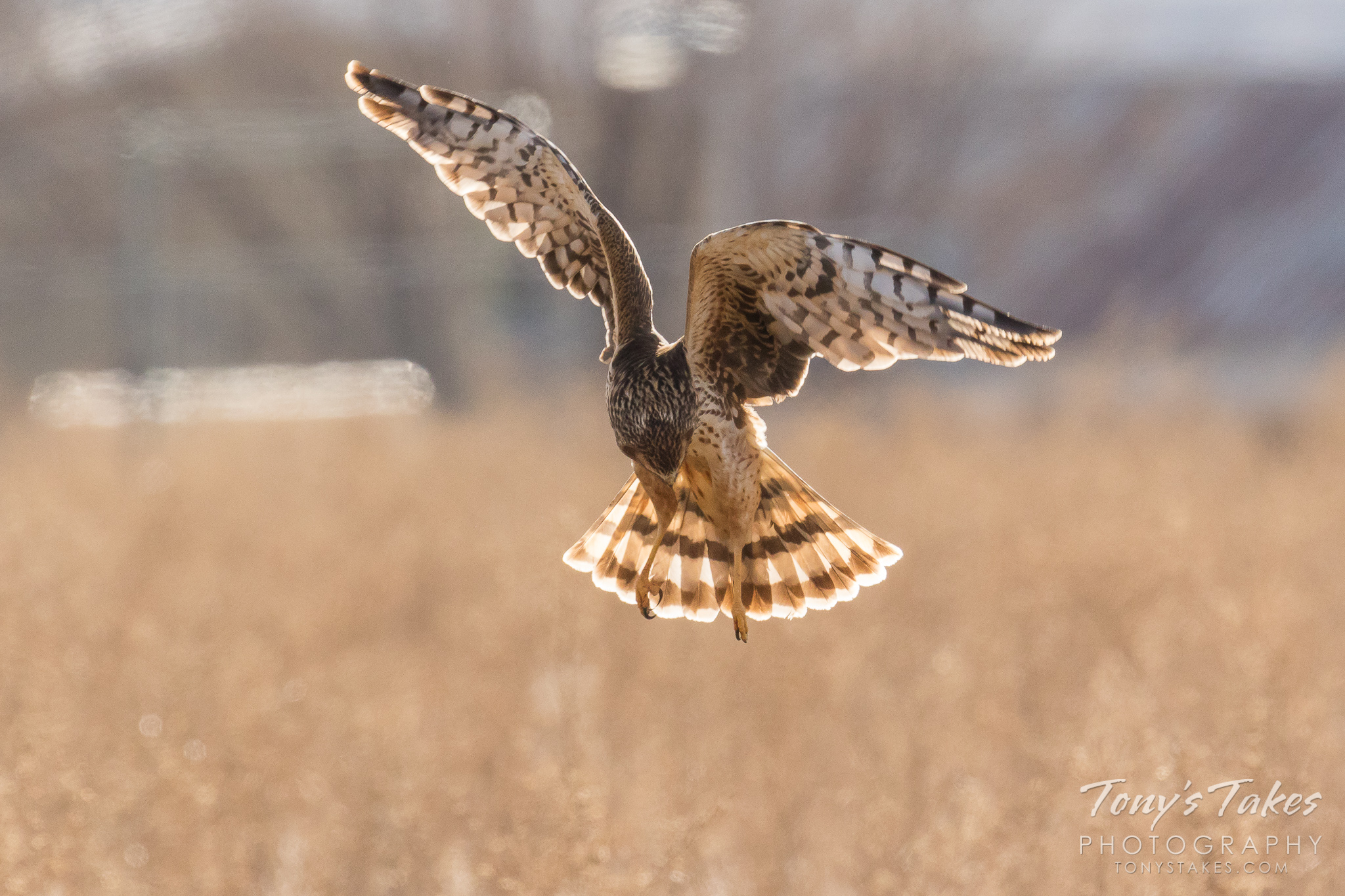 A female northern harrier patrols a field north of Denver, Colorado. (© Tony's Takes)