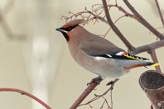 Bohemian Waxwing | by Stu Price