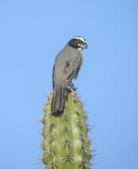 Orinocan Saltator (Saltator orenocensis)