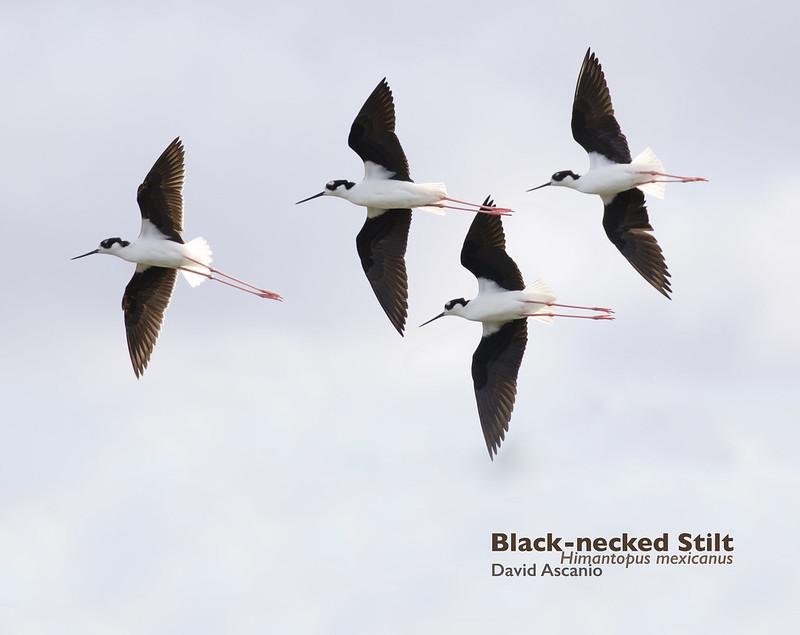 Black-necked Stilt, Himantopus mexicanus_199A3262
