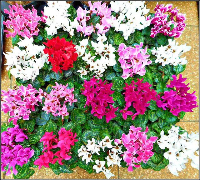 Cyclamen Plants ..
