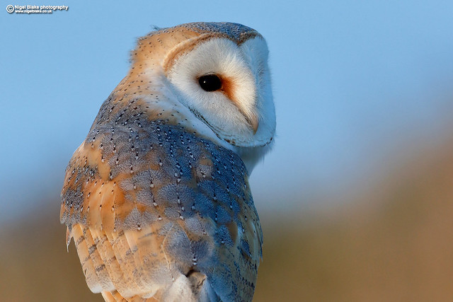 Barn Owl, Tyto alba.