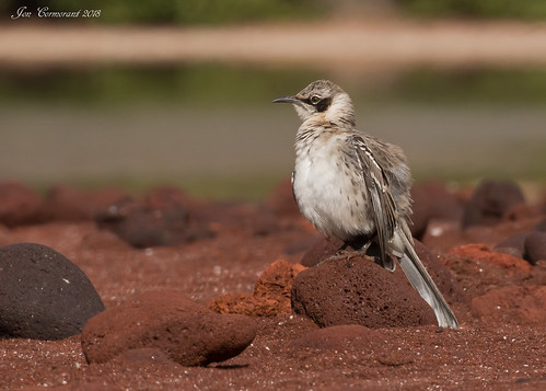 "Galápagos Mockingbird (""Personatus"" Adult) 