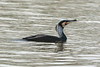 Cormorant in Courtship plumage. by warren hanratty
