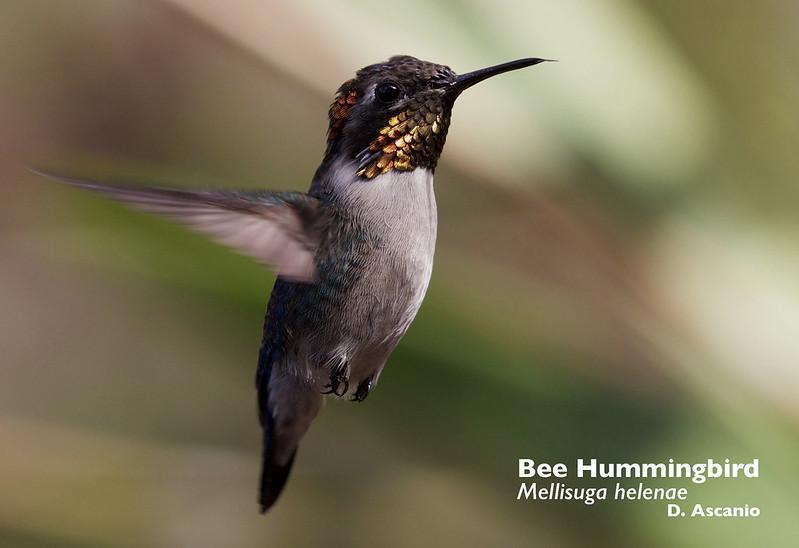 Bee Hummingbird_Mellisuga helenae_Ascanio_Peru_199A4238