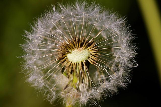 Pusteblume // Dandelion