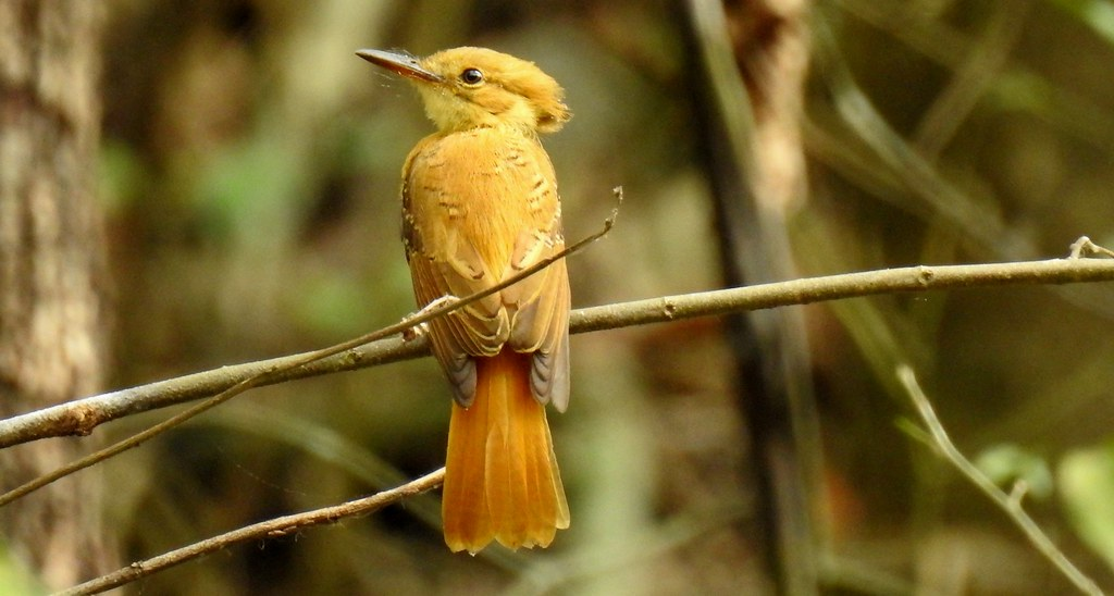 Royal Flycatcher / Mosquero Real (Onychorhynchus coronatus) en el Parque Nacional Cerros de Amotape, Tumbes