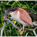 Rufous Night-Heron - Photo (c) Geoff Whalan, some rights reserved (CC BY-NC-ND)